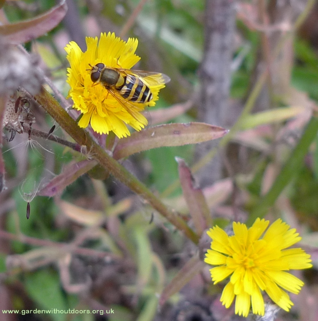 hoverfly on damn yellow composite