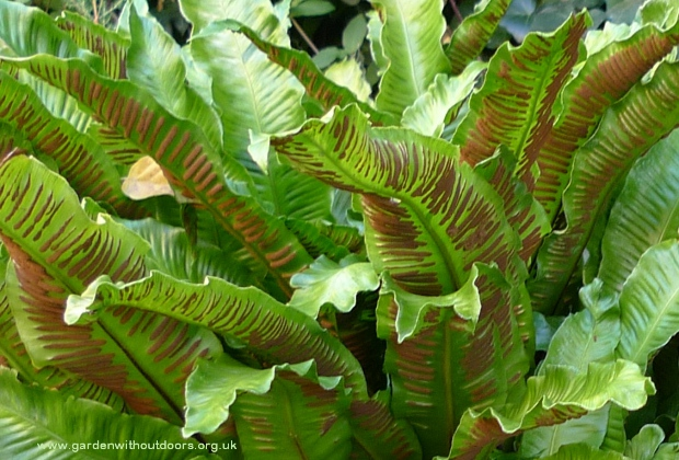 harts tongue fern