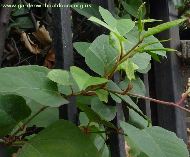 japanese knotweed buds