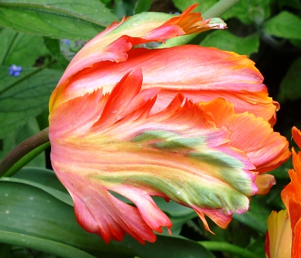 Orange Favourite tulip