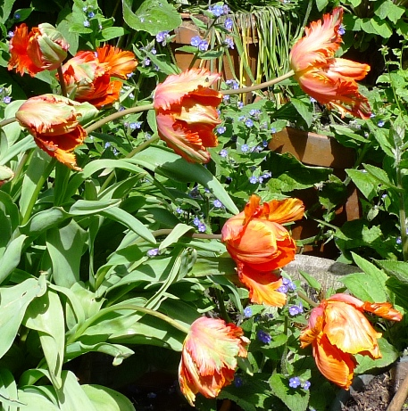 Orange Favourite tulips