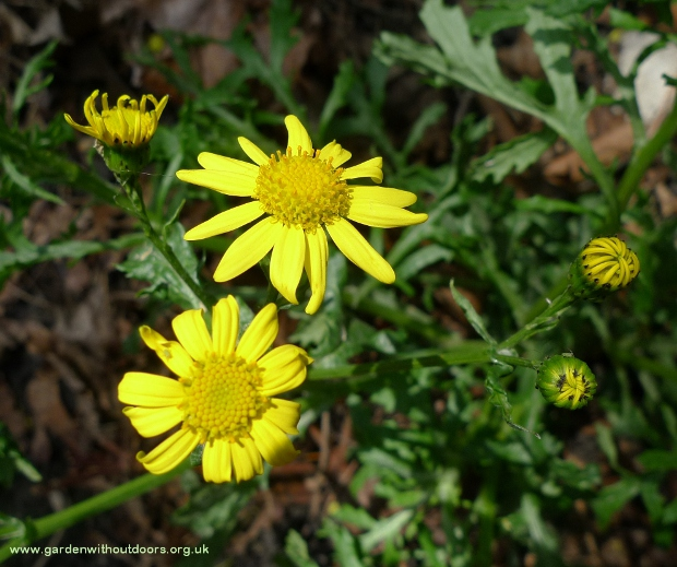 oxford ragwort