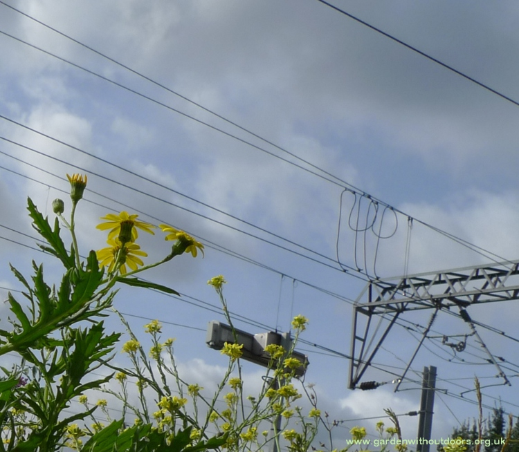 oxford ragwort along railway line