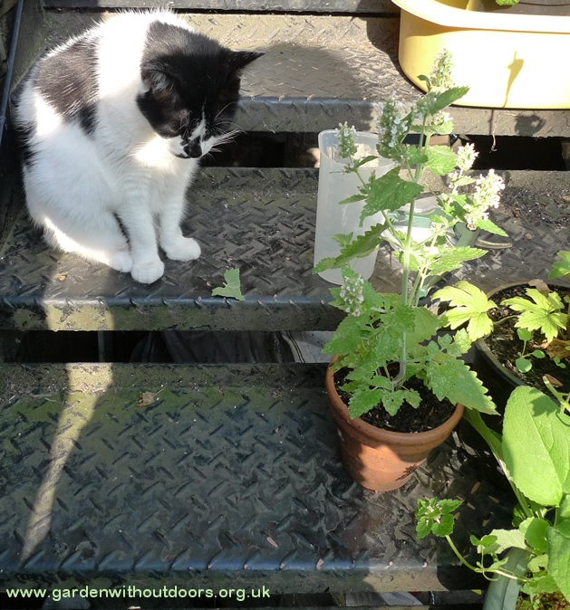 cat catnip nepeta cataria