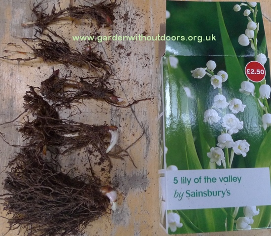 Sainsburys Lily of the Valley rhizomes