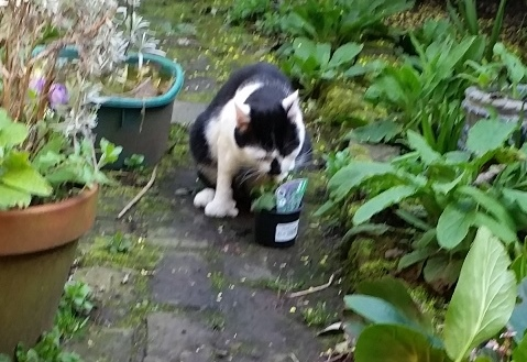 cat with nepeta faassenii