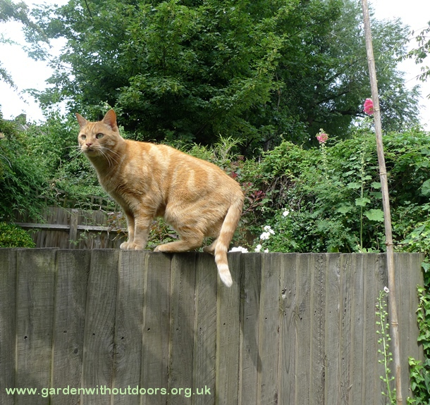 cat on fence hollyhock