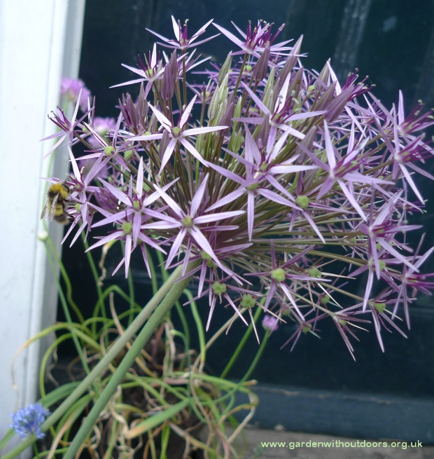 allium christophii with bee