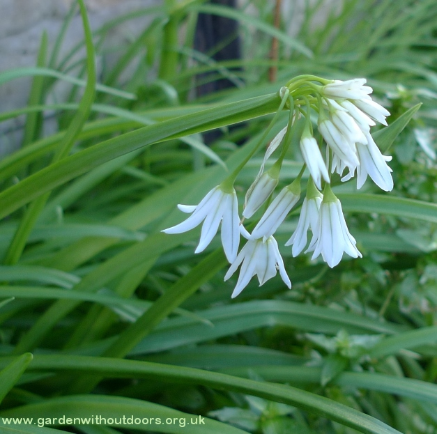 allium triquetrum three-cornered leek