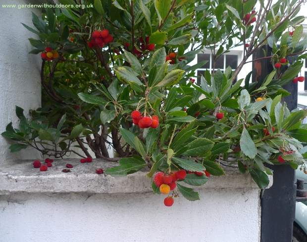 strawberry tree arbutus unedo