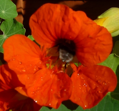 bee in nasturitum phoenix