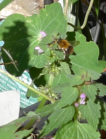 bee deadnettle