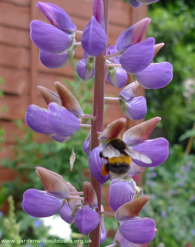 lupin with bee with pollen basket