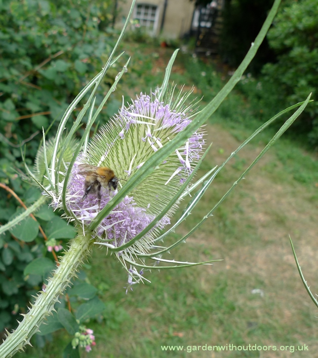 bee on teasel