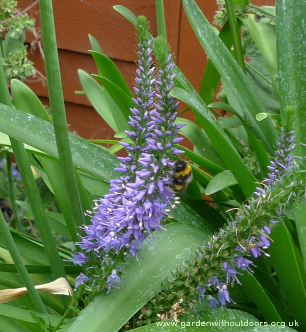 bee on veronica