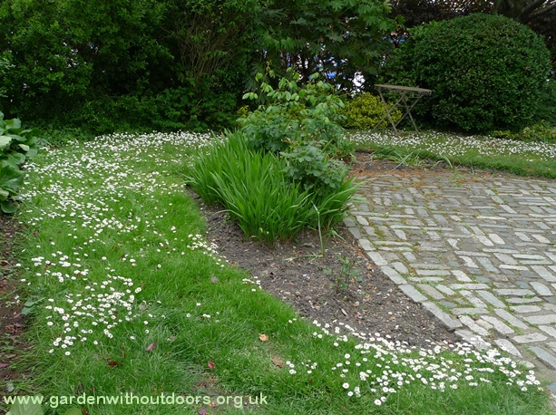 bellis perennis carpet