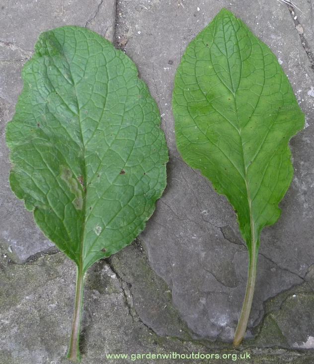 borage and green alkanet leaf comparison