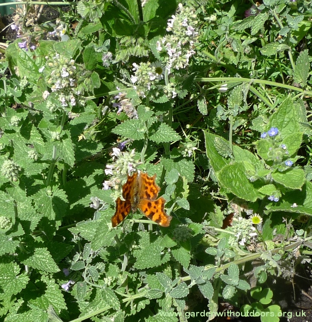 butterfly on catnip