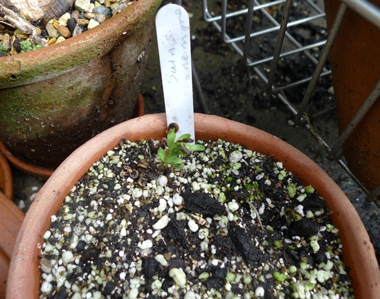 calendula self-seeded seedlings