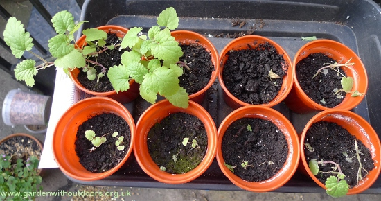 catnip seedlings