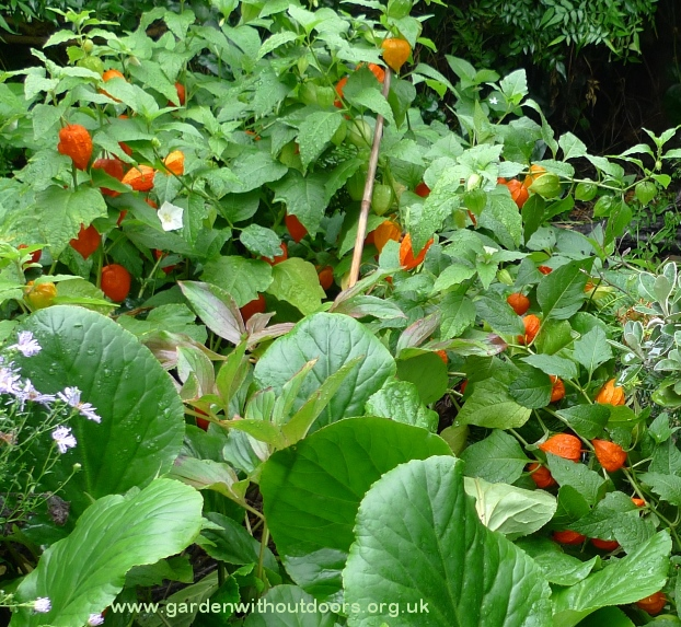 chinese lantern fruits and flowers