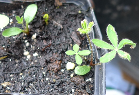 lupin seedlings
