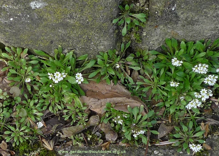 common whitlowgrass (Erophila verna)