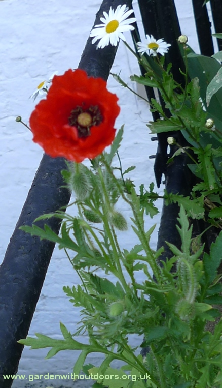 corn field red poppy