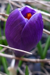 one of the first purple crocuses Spring 2012