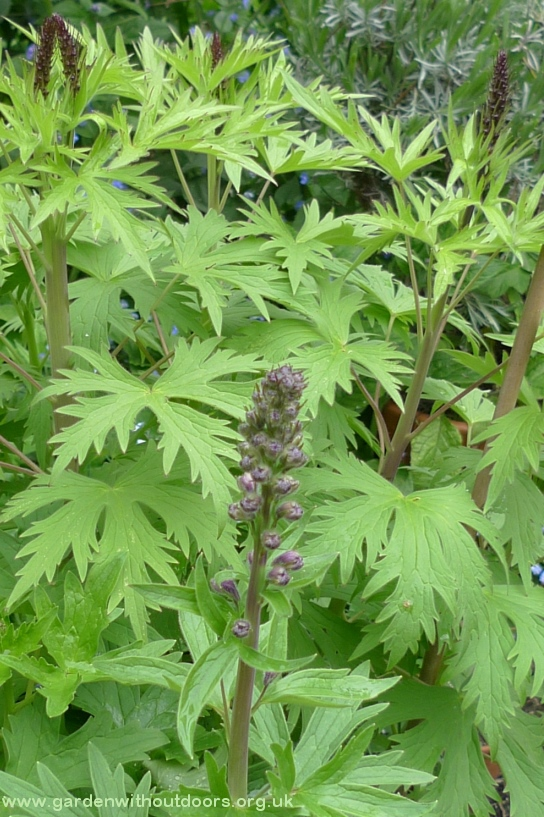 delphinium in pot with buds