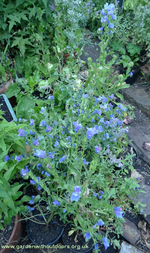 echium Blue Bedder