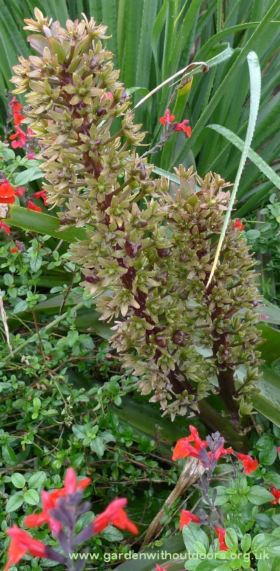 eucomis pineapple lily