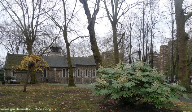 fatsia japonica St Pancras Old Church