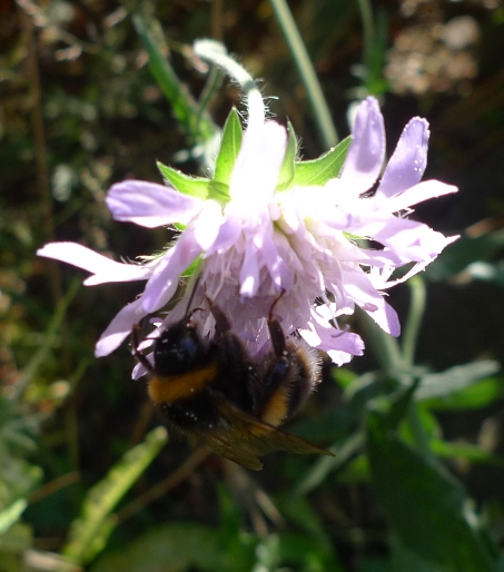 field scabious with bee