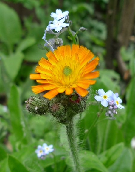 fox and cubs flower