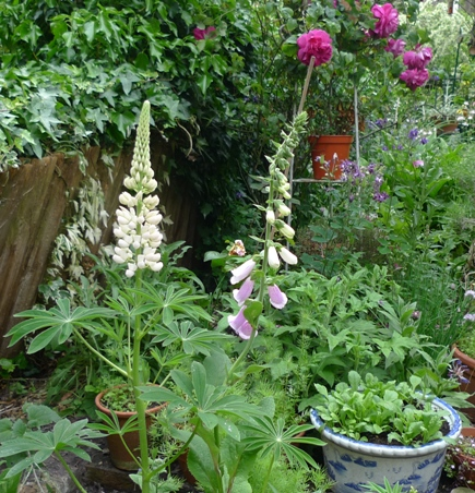 foxglove and lupin