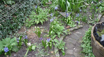 previously forced hyacinths in garden