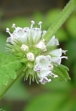 gipsywort flower