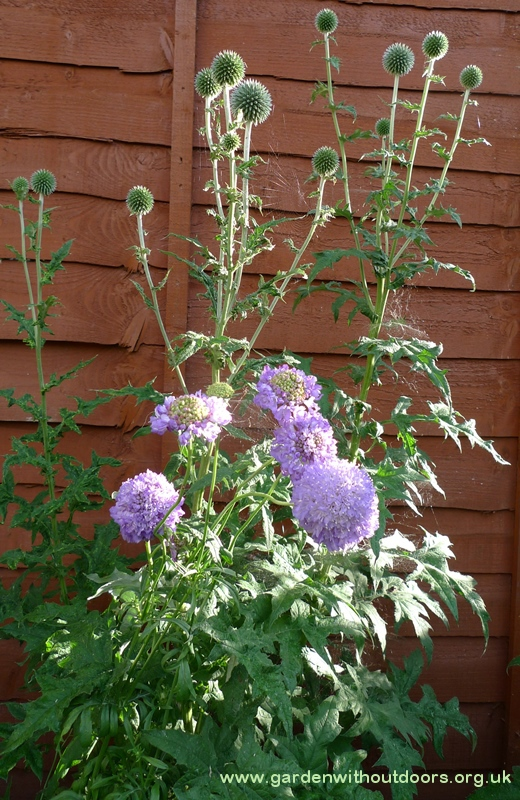 scabious Blue Cushion globe thistle buds