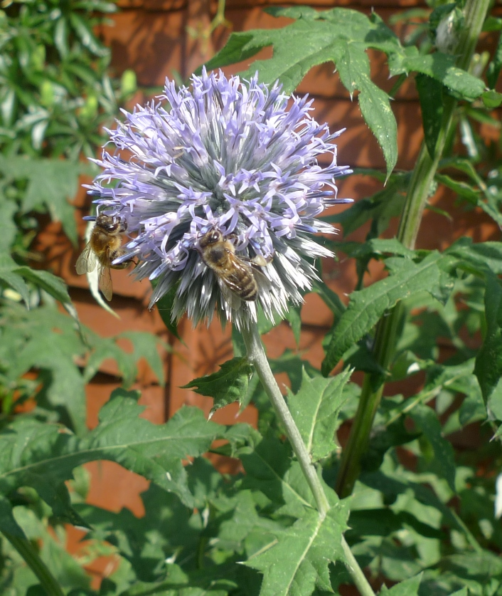 globe thistle with bee