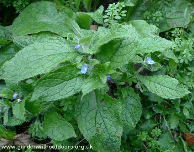 green alkanet flowers and buds