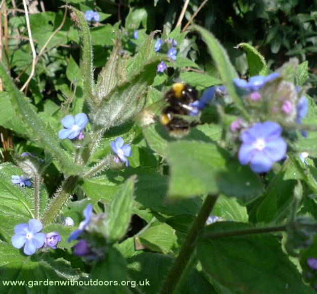 green alkanet bee