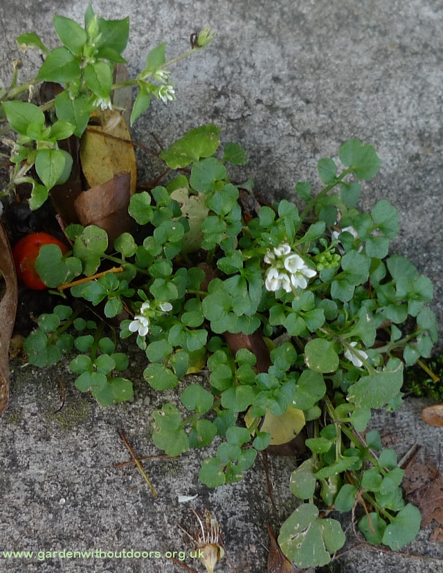 hairy bittercress and chickweed