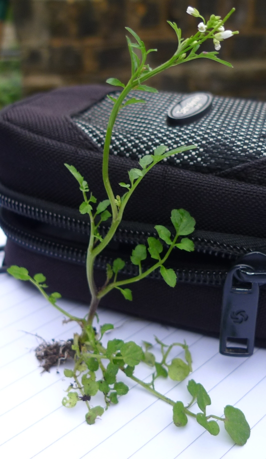 hairy bittercress