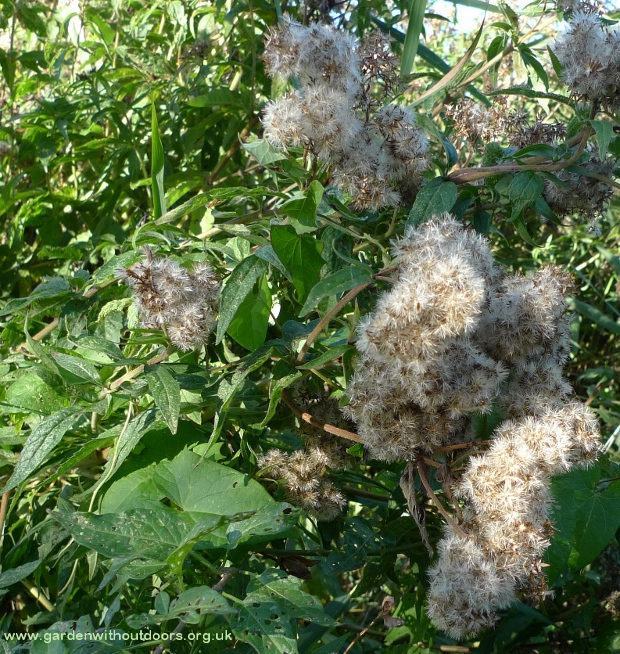 hemp-agrimony seed heads