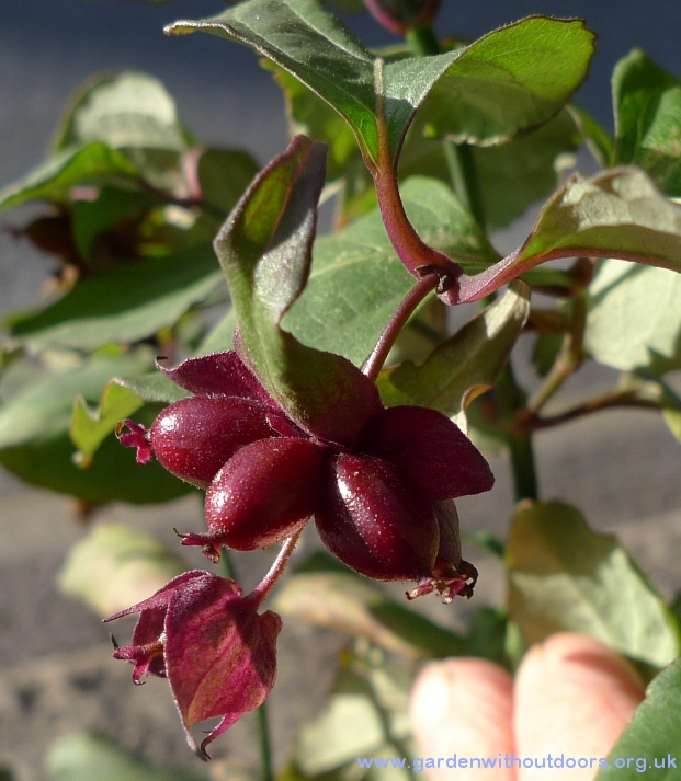 himalayan honeysuckle berries