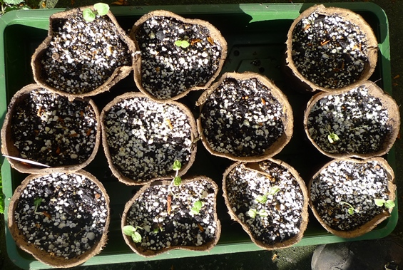 double hollyhock seedlings