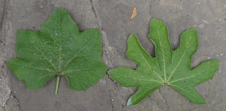 hollyhock leaves