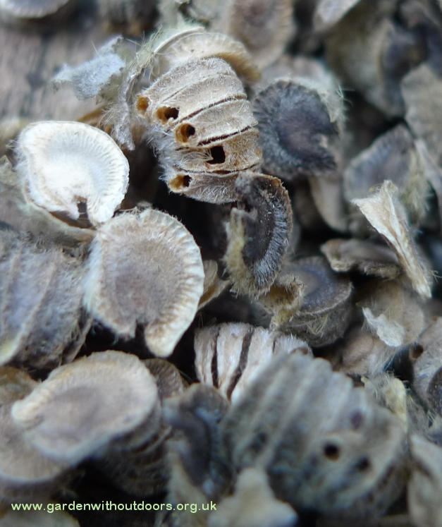 hollyhock seeds with hollyhock weevil seeds
