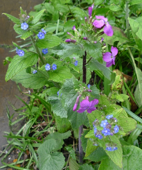 green alkanet and honesty